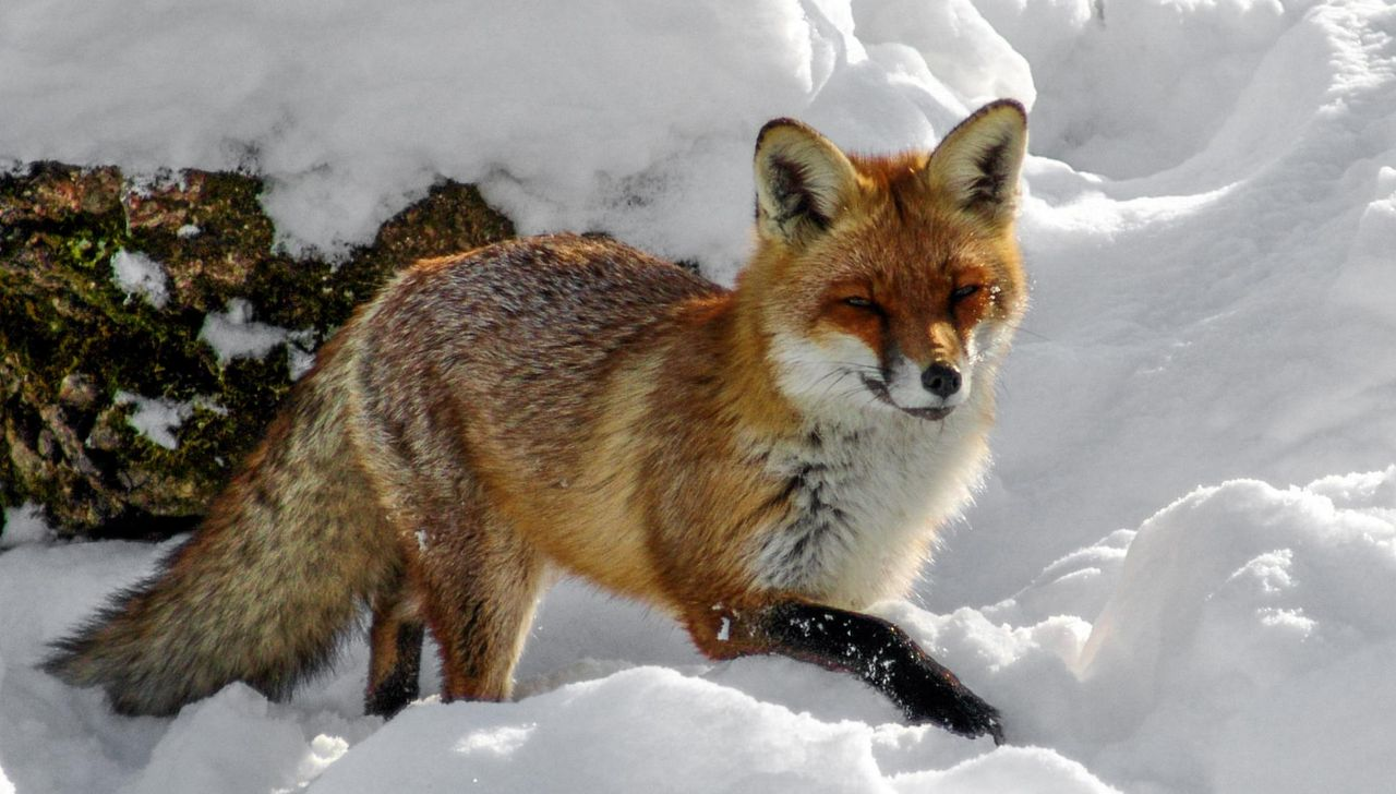 Ein Rotfuchs läuft durch den Schnee.
