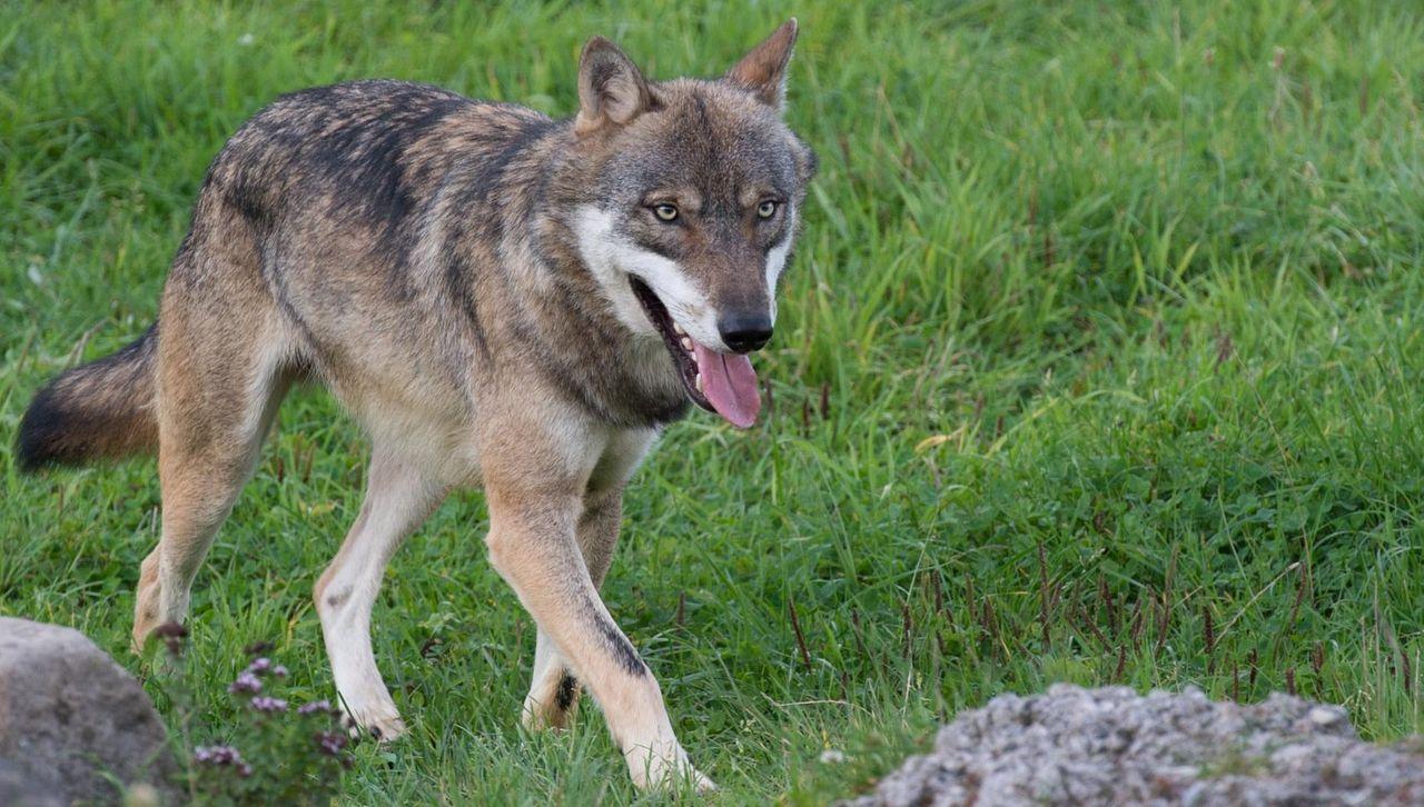 Wolf läuft über die Wiese im Natur- un Tierpark